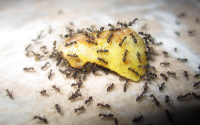 7 Ways On How to Get Rid of Ants From Your Home