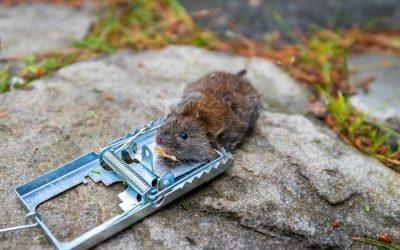 Do DIY Rodent Traps Actually Work?