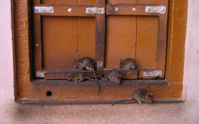 Top 3 Dangerous Rodent-Borne Diseases